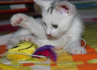 kot bawi się zabawką